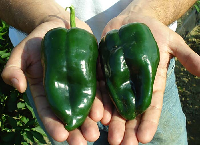 Pobalno Pepeprss Grown At The Um Research Farm In 2008 Photo By Zoraia Barros