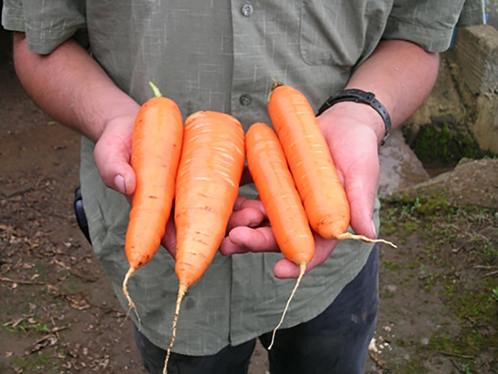 introduction to carrot crops Carrots introduction the carrot (daucus carota l) belongs to the family apiaceae it is related to celery, celeriac, coriander, fennel, parsnip and parsley carrots do best under cool conditions (10° to 25°c), and their seeds also germinate quite well, though slowly, under cool conditions crop development is much.