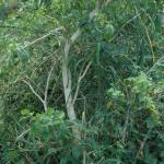 Figure 15. Aji dulce plant in Puerto Rico that was planted five years earlier. (Figure by Fiank Mangan)