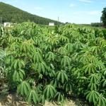 Figure 2. Cassava plant at the UMass Research Farm, before being harvested, on September 9, 2005. (Photo by Frank Mangan)