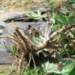 Figure 3. Cassava roots on a plant grown at the UMass Research Farm on September 9, 2005. (Photo by Frank Mangan)