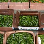Figure 5. Jalapeño peppers for sale at the wholesale market in Chelsea Mass. in 2004. (Photo by Frank Mangan)