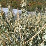 Figure 4. Chipilín plants after a light frost on October 25, 2007, at the UMass Research Farm in Deerfield, (Photo by Frank Mangan).