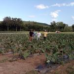 Figure 8. A field of taioba at the UMass Amherst Research Farm in 2011. Photo by Frank Mangan)