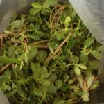 Figure 6. The weed purslane for sale at a farm in upstate New York in 2013. (Photo by Frank Mangan)