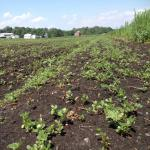 Figure 5. A field with the weed purslane for on a farm in upstate New York in 2013 (Photo by Frank Mangan)