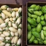Figure 10. Garden egg (left) and jiló (right) grown at the UMass Research Farm in Deerfield Mass. in ½ bushel boxes at a market in Worcester Mass. in 2014. (Photo by Frank Mangan)