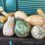 Figure 14. Calabaza for sale at a retail market in Havana Cuba in 2016 (Photo by Frank Mangan).
