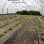 Figure 7. Commercial variety of purslane growing in a high tunnel at the UMass Research Farm in 2012 (Photo by Frank Mangan)