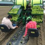 Figure 25. Transplanting ají dulce at the UMass Research Farm in late May, 2015. We use biodegradable plastic laid 6 feet on center with double rows on the plastci and 1' in the row for a total plant population of 14,480 plants/acre. (Photo by Frank Mangan in 2015)