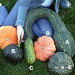 Figure 1: Figure 1. Brazilian abóbora varieties grown in Massachusetts. (The squash in the bottom right is calabaza).