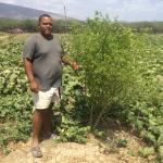 Figure 14. An ají ducle plant, planted two years earlier, at a commercial farm in the Dominican Republic. The plant was still producing fruit. (Photo by Frank Mangan in 2015)
