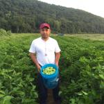 Figure 16. Ají dulce being harvested at the UMass Research Farm in 2015. (Photo by Frank Mangan)