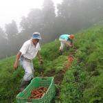Field of carrots on a farm in Costa Rica. (Photo by Frank Mangan)