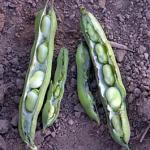 Pods of fava beans harvested in Massachusetts on June 22. (Foto by Frank Mangan)