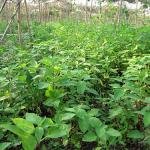 Figure 1. A field of hierba mora growing wilds under a canopy of loroco in El Salvador (Photo by Frank Mangan)