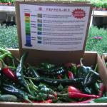"Figure 8. ""Heirloom"" Mexican peppers groan at the UMass Research Farm in Deerfield Mass. for sale at a retail market in Watertwon Mass. in 2018 (Photo by Frank Mangan)"