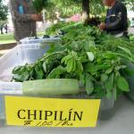 Figure 25. Chipilín bunches set in a container with water on the bottom for sale a farmers' market in Chelsea Mass. In 2009. (Photo by Frank Mangan)