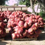 Figure 19. Calabaza at a farm in Puerto Rico packed in 50 lbs. mesh bags. (Photo by Frank Mangan)