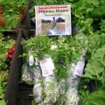 Figure 6. Hierba mora harvested at the UMass Research Farm for sale at a cooperating market in Chelsea Mass. Photo by Frank Mangan)