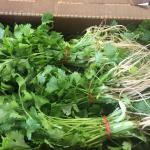 Figure 6. Cilantro harvested at the UMass Research Farm in Deerfield Mass., with roots intact, provided to an ethnic market in Springfield, Mass. in 2015. (Photo by Frank Mangan)