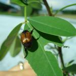 Figure 19. Japanese beetle on chipilín at the UMass Research Farm in 2007. (Photo by Zoraia Barros)