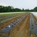 Figure 7. Taioba being transplanted at the UMass Amherst Research Farm in 2008. (Photo by Frank Mangan)