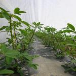 Figure 18. Chipilin growing under row cover at the UMass Research Farm in Deerfield Mass. in 2010. (Photo by Frank Mangan)
