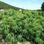 Figure 7. Cassava at the UMass Research Farm in Deerfield Mass. on September 9 before being harvested. (Photo by Frank Mangan)