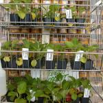 Figure 13. Close-up of jiló transplants produced in Massachusetts for sale at a Brazilian market in Framingham, Massachusetts in 2004. (Photo by Frank Mangan)