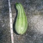Figure 4. Pipián harvested on July 17 at the UMass Research Farm. This fruit, which is 6 inches long, is a good size for pipián. The market will accept smaller fruit, but not much larger. (Photo by Frank Mangan)