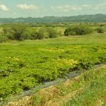 Figure 24. Field of ají dulce in Puerto Rico with parts of planting affected by pepper mild mosaic virus (PMMoV), yellow patches, in 2000. (Photo by Frank Mangan)