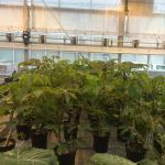 Figure 6. Cassava stems growing in a greenhouse at UMass Amherst on May 15, 2014. Transplants were started on April 1, 2014. (Photo by Frank Mangan)