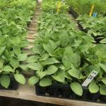 Figure 9. Jiló transplants in a commercial greenhouse in Massachusetts on May 15, 2015. The plants were started on March 12. (Photo by Frank Mangan)