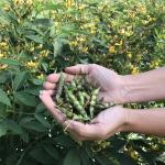 Figure 11. Pigeon pea pods with fresh beans inside harvested at the UMass Research Farm on August 24, 2017 (Photo by Frank Mangan)