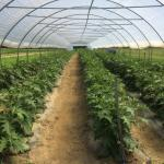 Figure 16.  Jiló plants trellised in a high tunnel at the UMass Research Farm on July 21, 2014 (Picture by Frank Mangan)