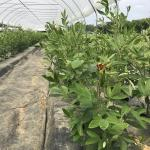 Figure 8. Pigeon peas in a high tunnel at the UMass Research Farm in Deerfield Mass. on July 12, 2017. (Photo by Frank Mangan)