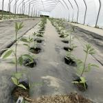 Figure 7. Pigeon peas in a high tunnel at the UMass Research Farm in Deerfield Mass. on June 20, 2017. (Photo by Frank Mangan)