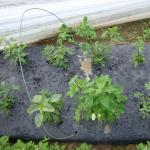 Figure 11. Weeds growing in holes for chipilín at the UMass Research Farm in Deerfield Mass. in 2009 (Photo by Frank Mangan)