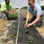 Figure 6. Pigeon peas being transplanted in a high tunnel at the UMass Research Farm in Deerfield Mass. on May 31, 2017. (Photo by Frank Mangan)