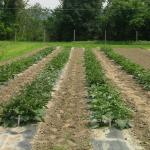 "Figure ""eggplant trial"". Trial of eggplant varities, incluing two types of jiló, at the UMass REsearch Farm on July 15, 2005. Photo by Frank Mangan)"