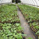 Figure 6. Taioba transplants ready for the field in 2008. (Photo by Renato Mateus)