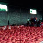 Onions being packed in the state of Lara Venezuela. (Photo by Frank Mangan)