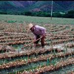 Onions being produced in the sate of Lara Venezuela. (Photo by Frank Mangan)