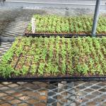 Figure 9. A starter tray used to start seeds with relatively low germination. Once the seedlings are big enough they are then transferred to another tray to finish. This starter tray has eggplant seedlings; this is the type of starter tray used for chipilín. Photo by Frank Mangan)