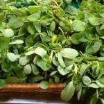 "Horticultural variety verdolaga, ""Golden Red Purslane"""", gorn at the UMass Research Farm, for sale at a market in Watertown MA"