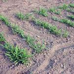 Water Spinach growing in Amnerst, Mass. This plant spacing is commonly used by Asian growers.