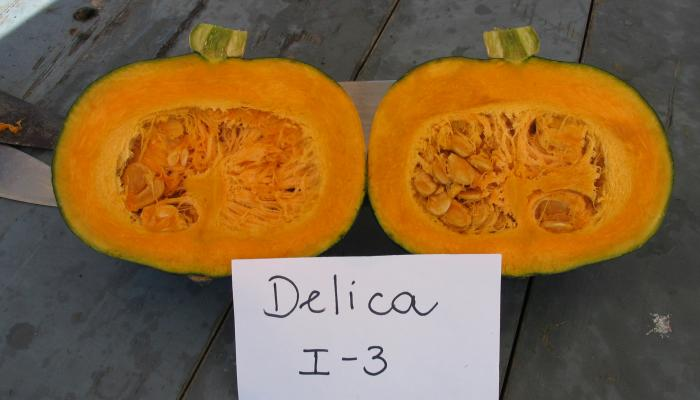 "Kabocha variety ""Delica"" grown at the UMass Research Farm in (Deerfield Mass in 2006 Photo by Frank Mangan)"