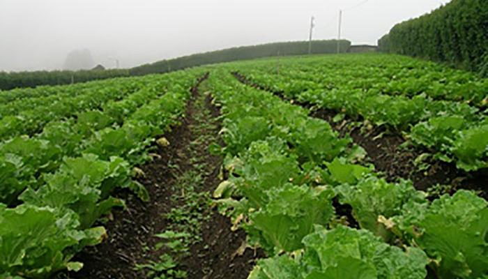 Filed of Chinese cabbage on a farm in Costa Rica.