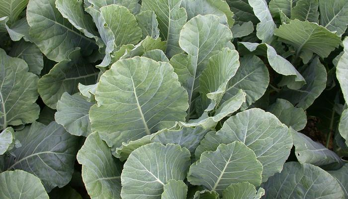 Collards growing on a farm in Whately, Massachusetts (Photo by Frank Mangan).